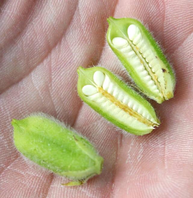 σουσαμι φυτο