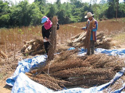 Συγκομιδή του σουσαμιού στην Ταϋλάνδη
