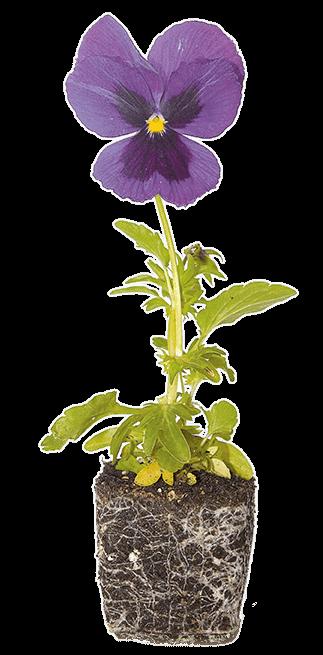 Πολλαπλασιασμός φυτών πανσές