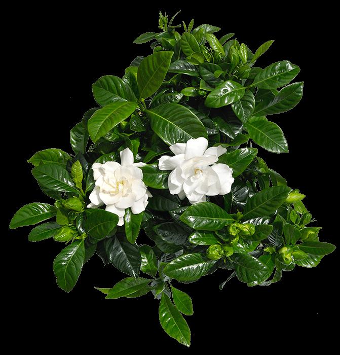 Γαρδένια οξύφιλα καλλωπιστικά φυτά