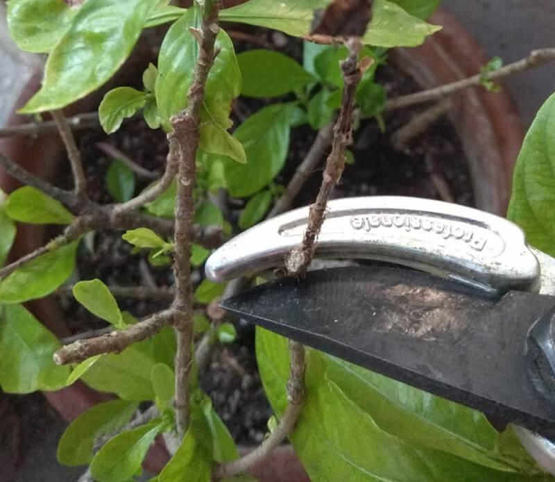 κλάδεμα Γαρδένιας περιοδικό κήπος