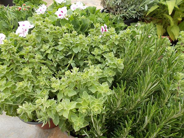 Αρωματικά φυτά ρίγανη - Κήπος και σπίτι