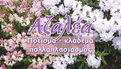 Αζαλέα Περιοδικό κήπος